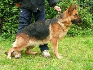 Dex : German Shepherd - Dex is a sociable and dynamic police dog, a canine officer and bitting satisfying.  It's a police dog and dog of search - utilitarian tracking, finding you on miles !    Stemming from the best German origins of beauty.  Make fast!